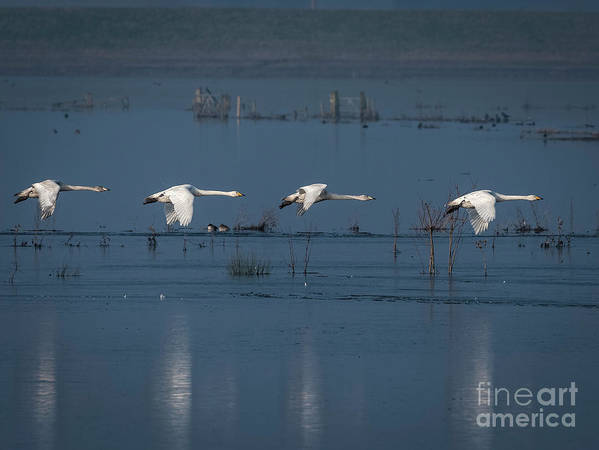 Formation Art Print featuring the photograph Whooper Swans In Flight by Philip Pound