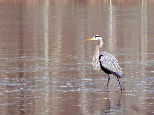 Birds Art Print featuring the photograph 2007-heron On Ice Feb 2011 by Martha Abell