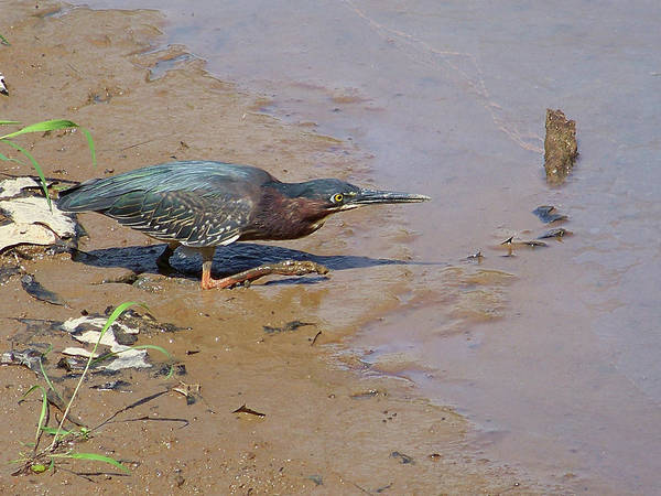 Birds Art Print featuring the photograph 2013-baby Green Heron by Martha Abell