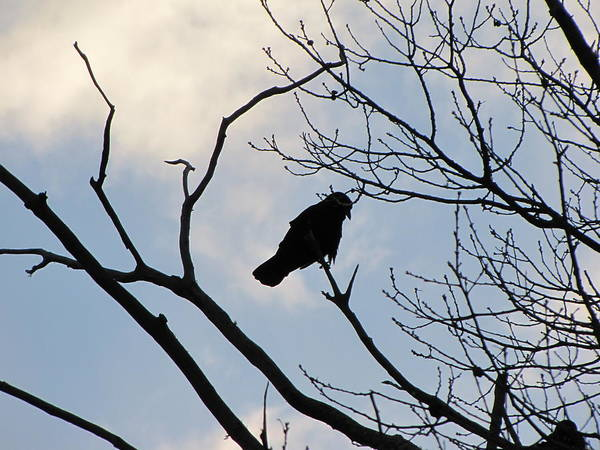 Crow Art Print featuring the photograph A Crow In My Eyes View by Melissa Parks