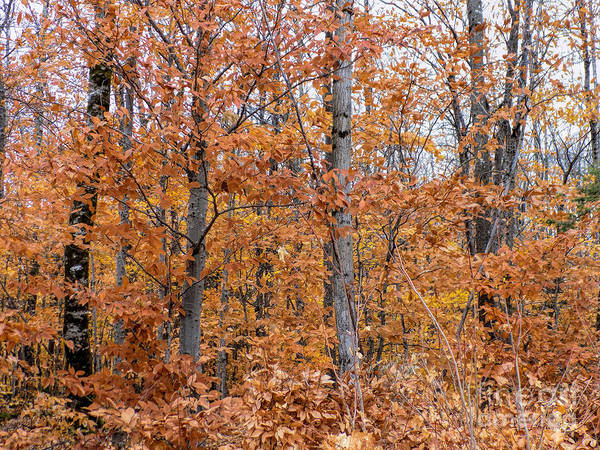 Trees Art Print featuring the photograph A Mixture Of Orange by William Tasker