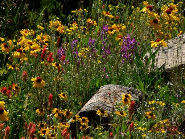 Flowers Wildflowers Colorado Rocky Mountains Meadow Colorful Indian Paintbrush Art Print featuring the photograph Abundance by George Tuffy