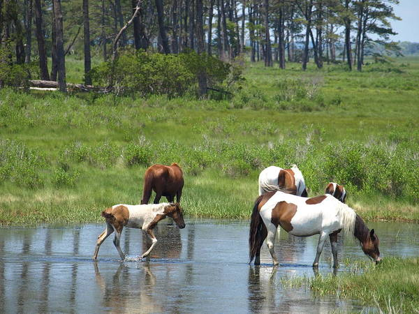 Chincoteague Art Print featuring the painting Adventure by Kim