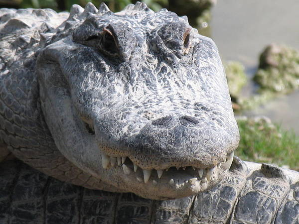 Alligator Art Print featuring the photograph Alligator Smile by Arry Murphey