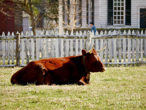 Cow Art Print featuring the photograph American Milking Devon In Spring by Rachel Morrison
