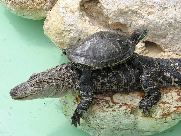 Turtle Art Print featuring the photograph An Unlikely Pair by Stacey May