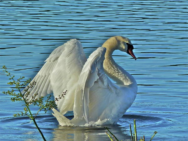 Swan Art Print featuring the photograph Angel Wings by Diana Hatcher