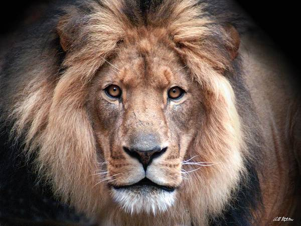 Lion Art Print featuring the photograph Angry by Bill Stephens
