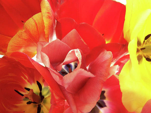Tulips Art Print featuring the photograph Awakenings by Laurel Ransom