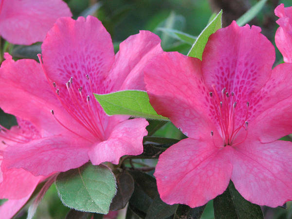 Azalea Art Print featuring the photograph Azaleas II by Stacey May