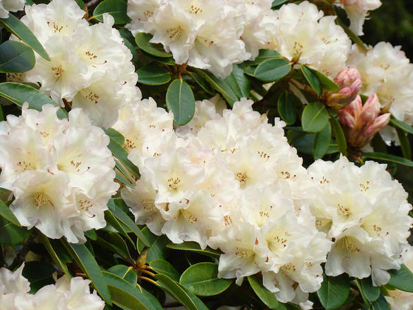 �azaleas Artwork� Art Print featuring the photograph Azaleas Rhodies Landscape White Pink Rhododendrum Flowers 8 Giclee Art Prints Baslee Troutman by Baslee Troutman