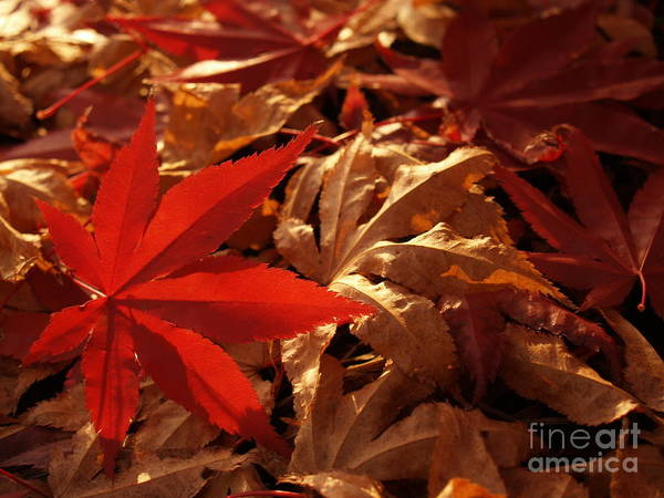 Leaf Art Print featuring the photograph Back-lit Japanese Maple Leaf On Dried Leaves by Anna Lisa Yoder