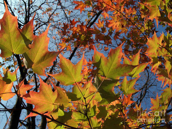 Leaf Art Print featuring the photograph Back-lit Sugar Maple Leaves From Below by Anna Lisa Yoder