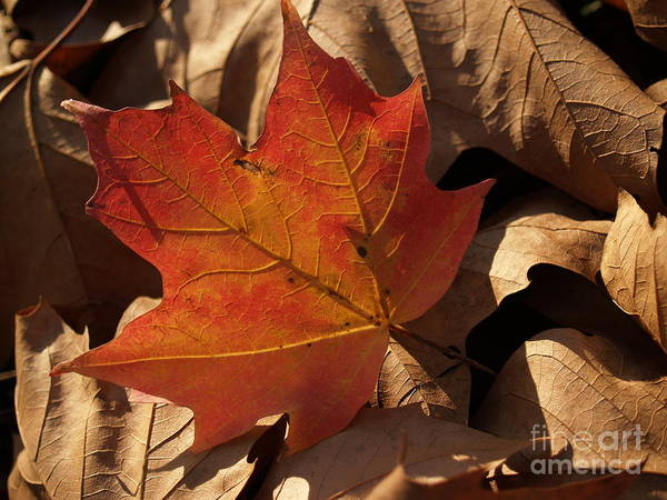 Leaf Art Print featuring the photograph Backlit Sugar Maple Leaf In Dried Leaves by Anna Lisa Yoder
