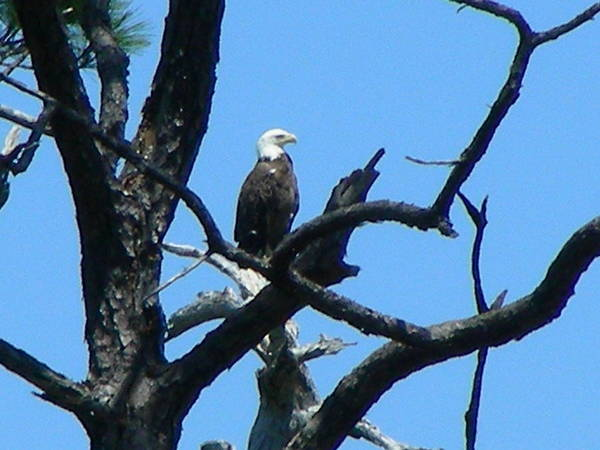Bald Eagle Art Print featuring the photograph Bald Eagle by Peter McIntosh