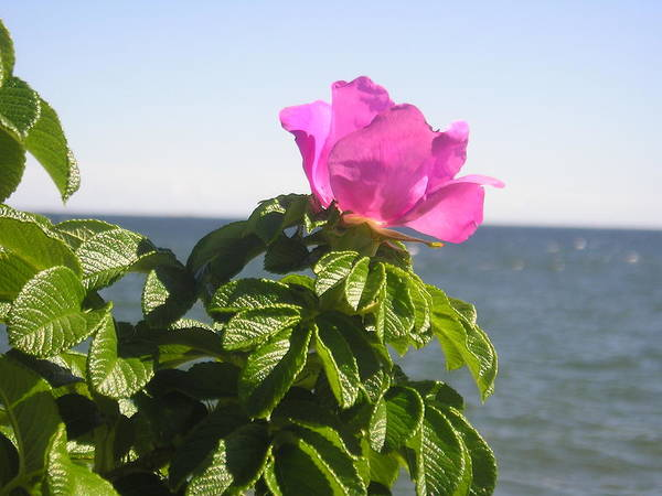 Pink Rose Art Print featuring the photograph Beach Rose by Donna Davis