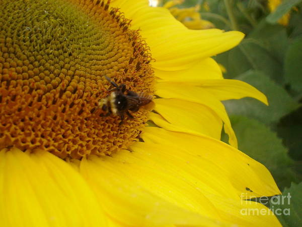 Bee Art Print featuring the photograph Bee On Sunflower 3 by Chandelle Hazen
