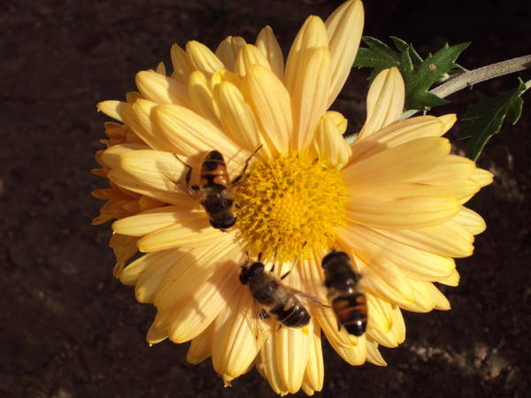Landscape Art Print featuring the photograph Bees On Feast by David Du Hempsey