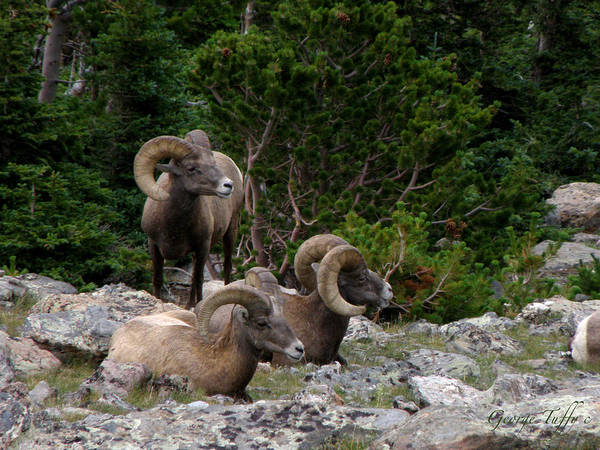 Bighorn Sheep Animals Colorado Rocky Mountains Art Print featuring the photograph Bighorn Sheep by George Tuffy