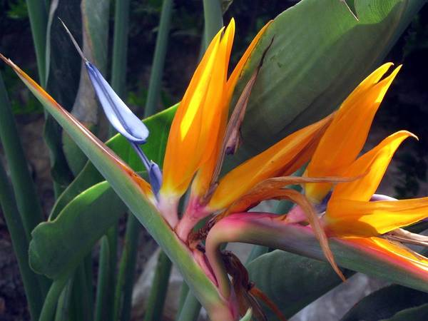 Bird Of Paradise Art Print featuring the photograph Bird Of Paradise - Crane Flower by Menucha Citron