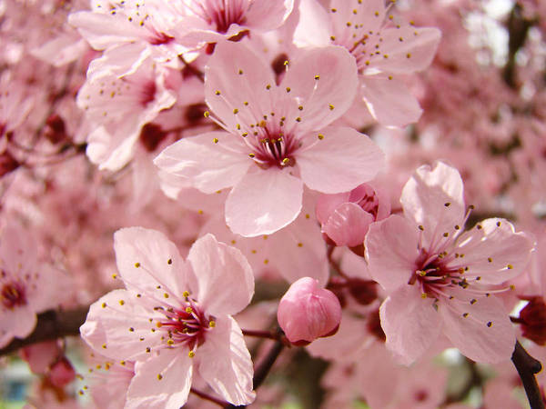 Nature Art Print featuring the photograph Blossoms Art Prints 63 Pink Blossoms Spring Tree Blossoms by Baslee Troutman