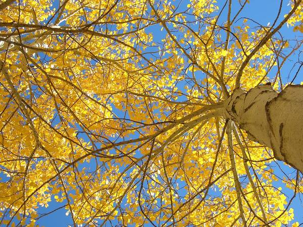 Aspen Art Print featuring the photograph Blue And Gold II by Brian Anderson