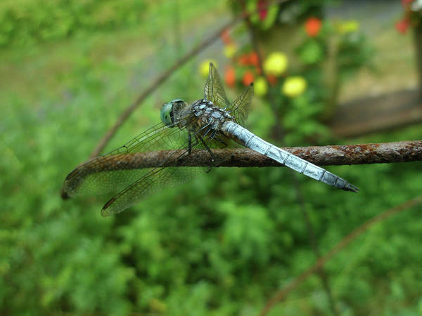 Dragonfly Art Print featuring the photograph Blue Dragonfly by Mother Nature