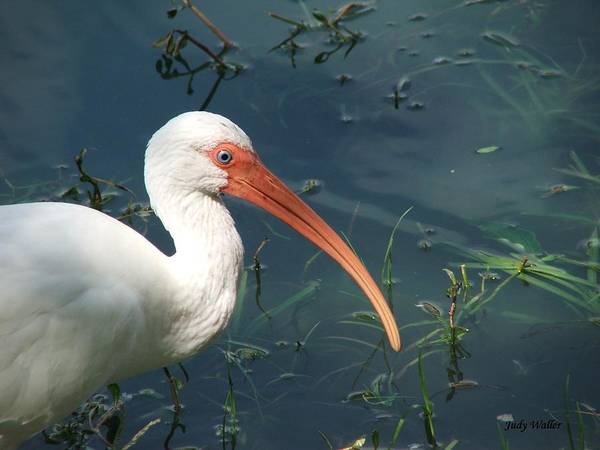 Ibis Art Print featuring the photograph Blue Eyes by Judy Waller