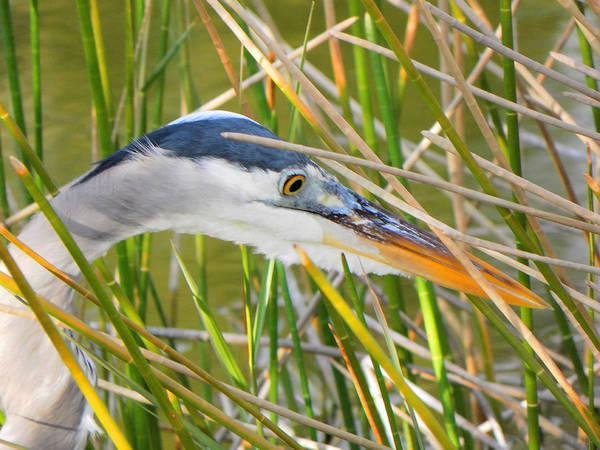 Bird Art Print featuring the photograph Blue Heron Hunting by Rosalie Scanlon