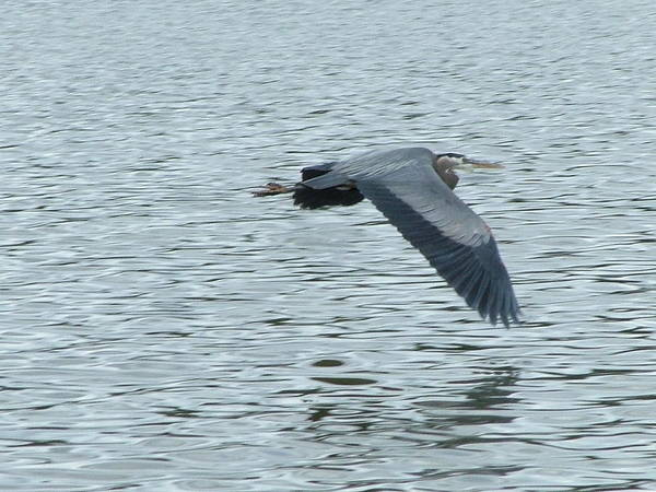 Blue Heron Art Print featuring the photograph Blue Heron In Flight by Nick Gustafson