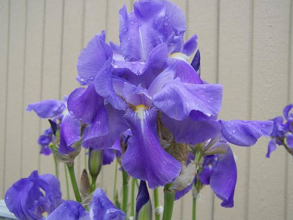 Flowers Art Print featuring the photograph Blue Iris by Laurie Kidd