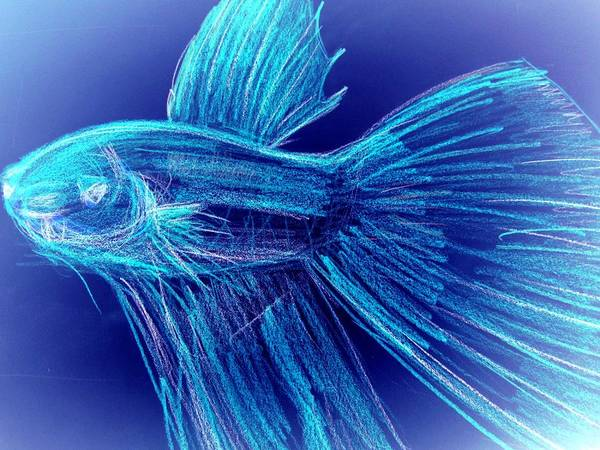 Art Print featuring the photograph Blue Siamese Fighting Fish by Miss McLean