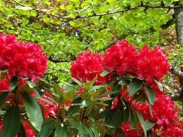 Rhodies Art Print featuring the photograph Botanical Garden Art Prints Red Rhodies Trees Baslee Troutman by Baslee Troutman