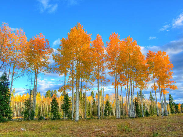 Aspens Art Print featuring the photograph Brilliant Fall Aspens by Linda Weyers