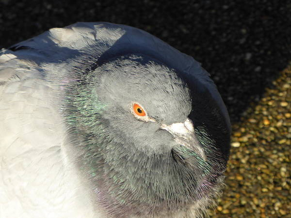 Pigeon Art Print featuring the photograph British Pigeon by Margaret Brooks