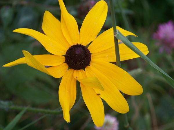 Yellow Flower Art Print featuring the photograph Brown Eyed Susan by Donna Davis
