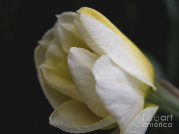 Flower Art Print featuring the photograph Budding Narcissus by Michelle Hastings