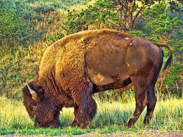 Custer State Park Art Print featuring the photograph Buffalo Custer State Park by Tommy Anderson
