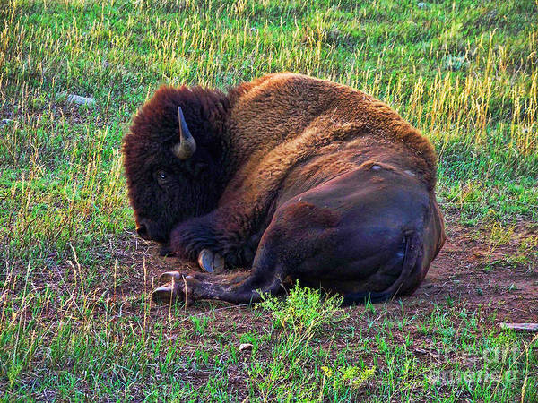 Buffalo Art Print featuring the photograph Buffalo In The Badlands by Tommy Anderson