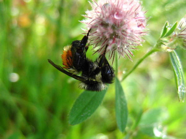 Bee Art Print featuring the photograph Bumble Bee by Melissa Parks