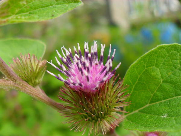 Burdock Art Print featuring the photograph Burdock by Peggy King