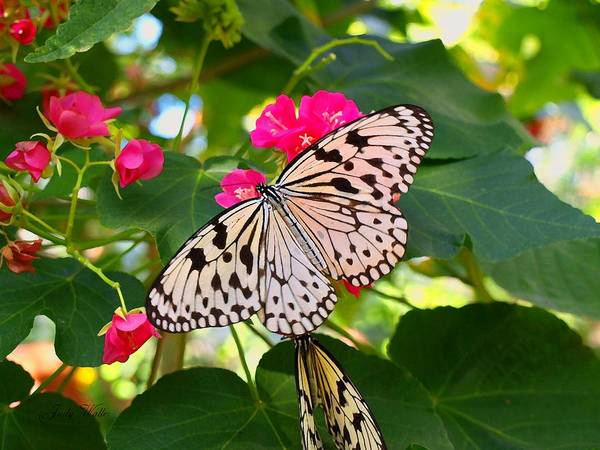 Butterfly Art Print featuring the photograph Butterfly And Pink Flower by Judy Waller