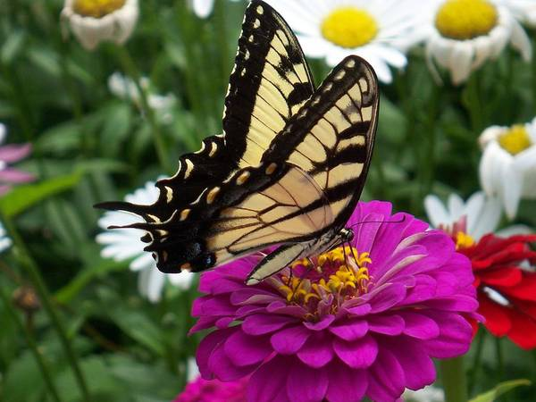 Butterfly Photos Art Print featuring the photograph Butterfly On Zennia by Ellen B Pate