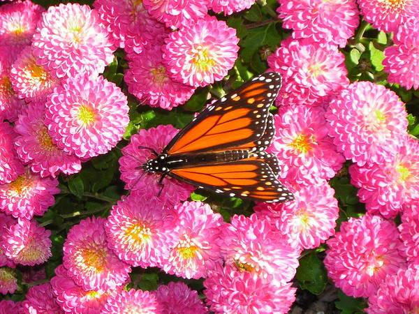 Butterflies Art Print featuring the photograph Cliff House Butterflies Ll by Heather Weikel