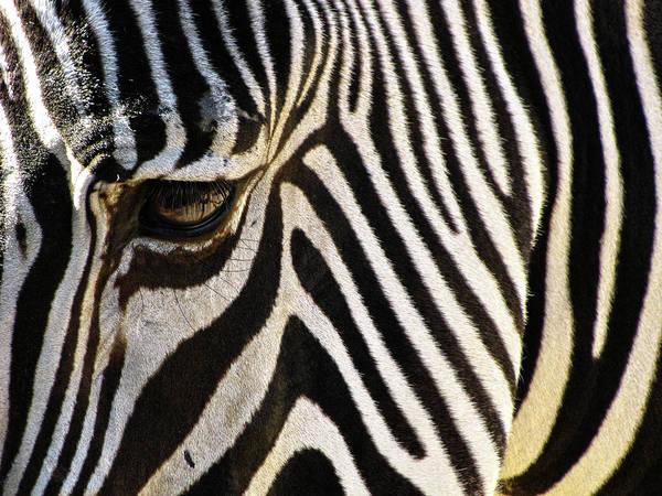 Zebra Art Print featuring the photograph Close Up Zebra by Helaine Cummins
