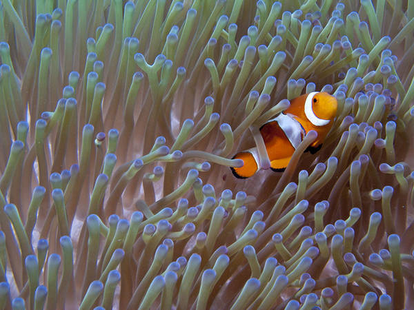 Nature Art Print featuring the photograph Clownfish by Gary Hughes