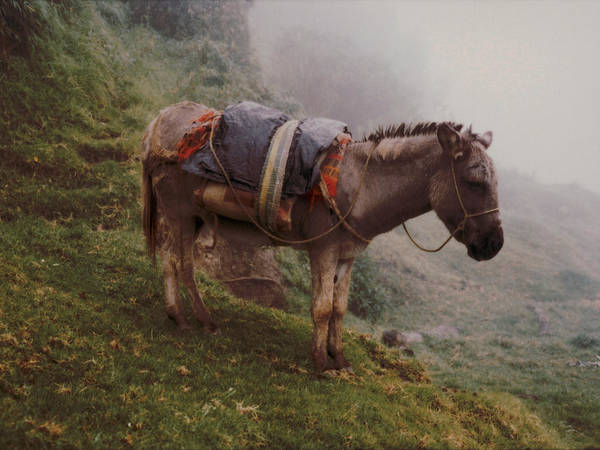Donkey Art Print featuring the photograph Colombian Burro In The Fog by Lawrence Costales