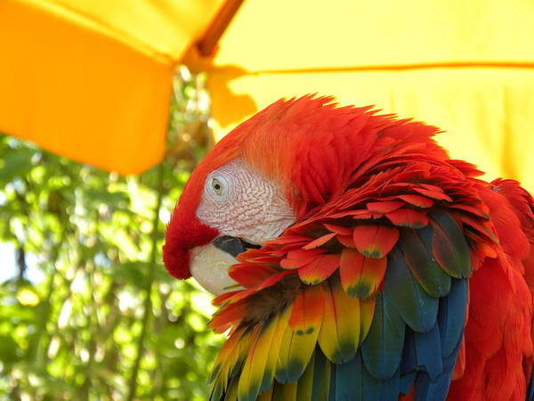 Macaw Art Print featuring the photograph Colorful Macaw-1 by Janet Dickinson