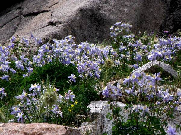 Columbine Flowers Nature Meadow Rocky Mountains Colorado Art Print featuring the photograph Columbine Abundance by George Tuffy