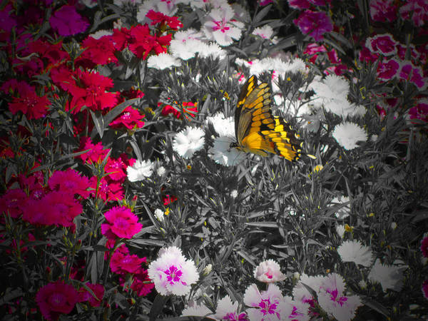 Butterfly Art Print featuring the photograph Competing Colors by Douglas Barnard